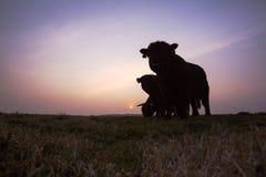Het vee van Galloway, Galloway, Bos taurus s royalty-vrije stock afbeeldingen