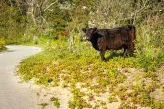 Het vee van Galloway in een bos stock fotografie