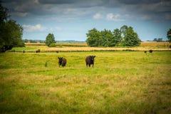 Het vee van Galloway op een landbouwbedrijf stock foto's