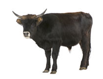 Het vee van Heck - auroch Stock Afbeeldingen