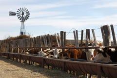 Het vee van Hereford Stock Foto's