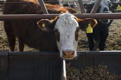Het vee van Hereford Royalty-vrije Stock Foto