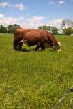 Het vee van Hereford Stock Afbeeldingen
