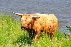 Het vee van het hoogland Stock Foto's