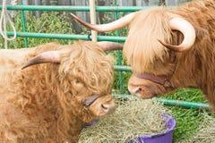 Het vee van het hoogland. stock afbeeldingen