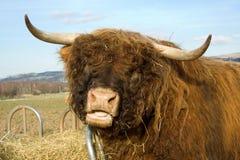 Het vee van het hoogland Royalty-vrije Stock Foto