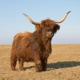 Het Vee van het hoogland Royalty-vrije Stock Foto's