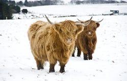 Het vee van het hoogland Stock Afbeeldingen