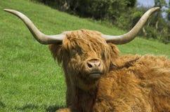 Het vee van het hoogland stock afbeelding