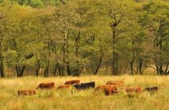 Het vee van het hoogland het weiden Stock Foto