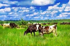 Het vee van het landbouwbedrijf stock foto's