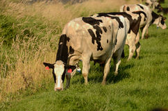 Het Vee van Holstein Stock Afbeelding