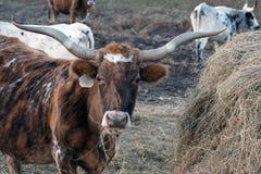 Het Vee van Texas Longhorn Royalty-vrije Stock Fotografie