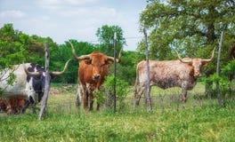 Het vee van Texas longhorn op weiland Stock Afbeeldingen