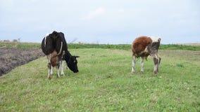Het vee weidt in het midden van het gebied, de koe en de jonge stier, op leiband, de Oekraïne stock video