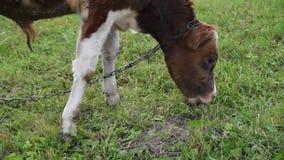 Het vee weidt in het midden van het gebied, jonge stier, op leiband, de Oekraïne stock video