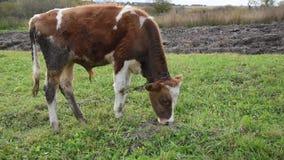 Het vee weidt in het midden van het gebied, jonge stier, op leiband, de Oekraïne stock videobeelden
