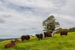 Het veeboerderij van Queensland Stock Afbeelding