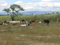 Het veefokken binnen Cearà ¡ royalty-vrije stock afbeeldingen