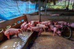 Het veefokken Groep varkens in boerenerf Stock Afbeeldingen