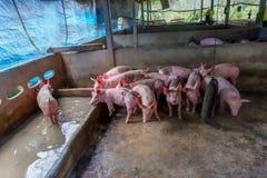 Het veefokken Groep varkens in boerenerf royalty-vrije stock afbeelding