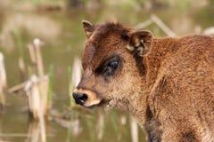 Het veekalf van het hoogland stock foto