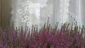 Het venster met witte Tulle en heide bloeit in een hangende bloempot, concept het platteland stock foto