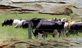 Het Venster van de boomschors aan het Weiden van Koeien stock afbeelding
