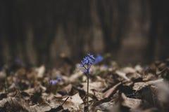 Het verbazen isoleerde blauwe scillabloem groeit in wild bos in de westelijke vroege lente van de Oekraïne stock fotografie