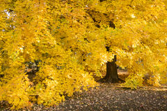 Het verbazen van Gouden Autumn Maple Tree Hangs Heavy met Zijn Dalings Gele Bladeren Stock Afbeeldingen