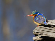 Het verbazen van weinig Ijsvogel van het Malachiet Stock Fotografie