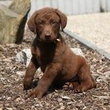 Het verbazende chesapeake puppy van de baairetriever Stock Foto