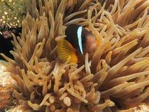 Het verbergen van Anemonefish in een Anemoon Stock Foto