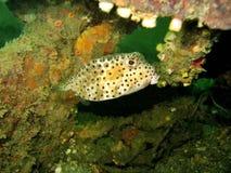 Het Verbergen van Boxfish Stock Foto