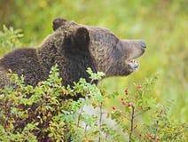 Het verbergen van de grizzly in roze struik royalty-vrije stock fotografie