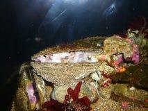 Het verbergen van de octopus in shell Stock Fotografie