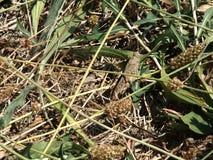 Het verbergen van de sprinkhaan in het gras Het maskeren - 100% Close-up Stock Foto