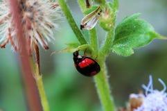 Het verbergen van het onzelieveheersbeestje onder een klein blad Stock Fotografie