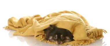 Het verbergen van het puppy onder een deken Stock Afbeeldingen