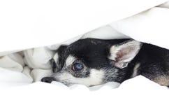 Het verbergen van hondchihuahua onder het dekbed stock afbeelding