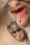 Het Verbergen van Macaque van de Bonnet van de baby achter Zijn Moeder royalty-vrije stock afbeeldingen