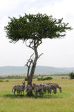Het verbergen van Zebras van de zon royalty-vrije stock foto