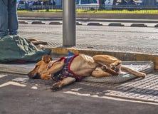 Het verdwaalde hond liggen Stock Afbeeldingen