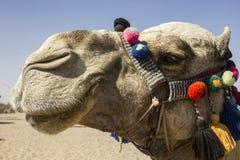 Het gezicht van de kameel Royalty-vrije Stock Foto