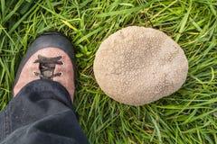 Het vergelijken van de grootte van de paddestoel met de voet Royalty-vrije Stock Foto's