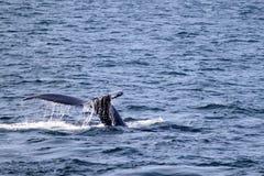 Het Verhaal van de gebocheldewalvis in Atlantische Oceaan dichtbij Boston Stock Foto