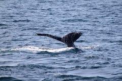 Het Verhaal van de gebocheldewalvis in Atlantische Oceaan dichtbij Boston Royalty-vrije Stock Fotografie
