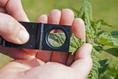 Het verkennen voor bollworm op een tomaat royalty-vrije stock afbeeldingen