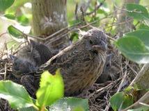 Het verlaten van het Nest stock foto