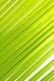 Het verlof van de kokosnoot Royalty-vrije Stock Afbeelding
